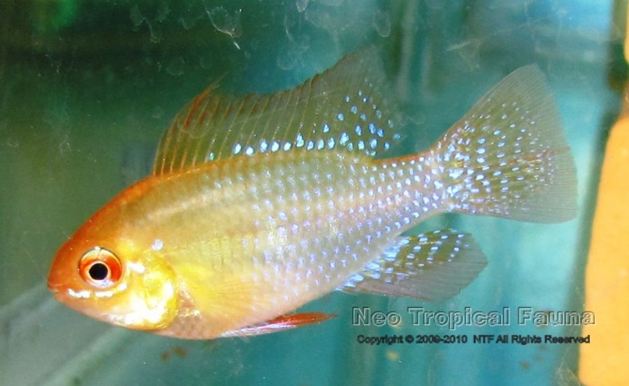 Gold Ram, the regular form this yellow dwarf cichlid