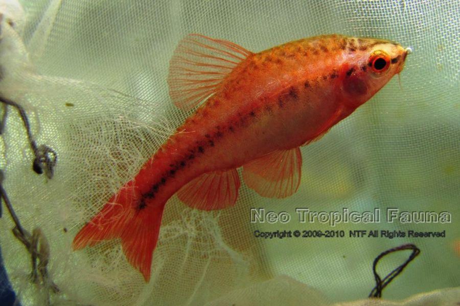 Puntius titteya cherry barb neotropicalfauna for Cherry barb fish